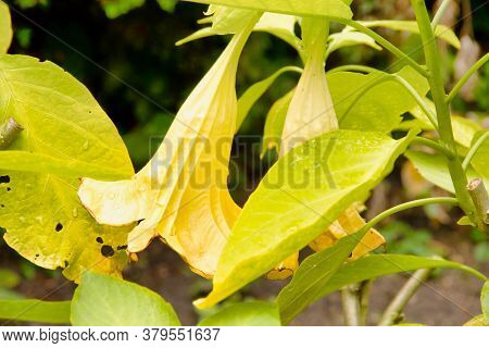 The Angel Trumpets, Brugmansia, Are A Genus Of Plants From The Nightshade Family