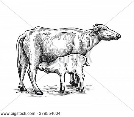 Breeding Cow. Animal Husbandry. Livestock Illustration On A White