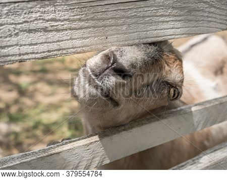 A Goat Peeks Out From Behind A Wooden Paddock. Animal Muzzle.
