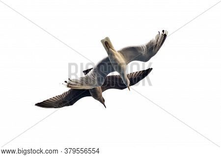 Two Sea Gull Flies In The Sky. Bottom View On A Background Of Clouds Silhouette Of A Seagull. Isolat