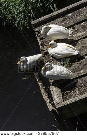 Wild White Pekin Long Island Ducks - River Lee Country Park