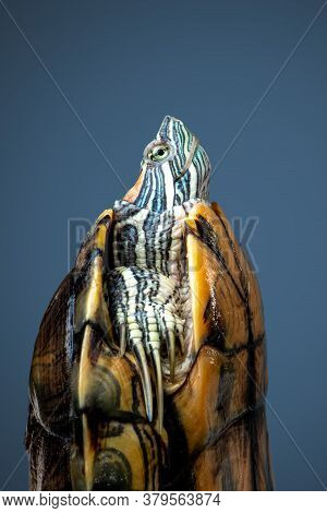 Side View Pet Turtle Red-eared Slider Or Trachemys Scripta Elegans Hides Its Head Under The Shell Cl