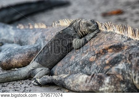 Galapagos Islands animals. Iguanas lying in the sun on rock. Marine iguana is an endemic species in Galapagos Islands. Animals, wildlife and nature of Ecuador. Young and mature iguana.