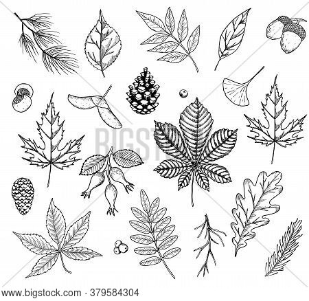 Autumn Vector Set With Leaves, Berries, Fir Cones, Nuts, And Acorns. Detailed Forest Botanical Eleme