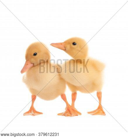 Cute Fluffy Baby Ducklings On White Background