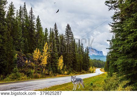 The Canadian Rockies. The road passes through an evergreen coniferous forest. White canadian wolf stands at the side of the road. The concept of active, environmental and photo tourism