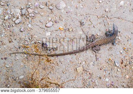 Plateau Side Blotched Lizard In Antelope Island State Park, Utah