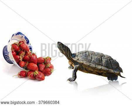 Red-eared Slider Turtle Trachemys Scripta Elegans Stands At An Inverted Plate With Strawberries, Iso