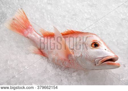 Fresh Whole Red Snapper Fish Seafood Uncooked On Ice