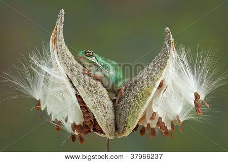 Frog On Milkweed Pods