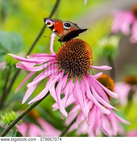 Beautiful Colored European Peacock Butterfly (inachis Io, Aglais Io) On Purple Flower Echinacea In A