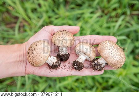 Beautiful Hand Holding Fresh Forest Brown Edible Mushrooms Champignons On A Background Of Green Gras
