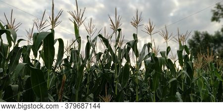 Young Corn Flower. Flowering Corn. Corn Field Against The Backdrop Of Dramatic Gray Cumulus Clouds.