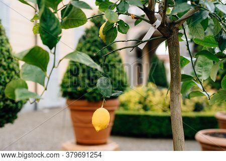 Yellow Lemon Fruit On The Branches Of The Tree Among The Foliage, Covered With Raindrops.