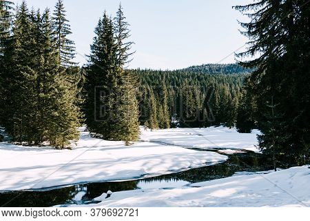 Green Coniferous Forest With Tall Trees On A Snowy Ground With A Stream.
