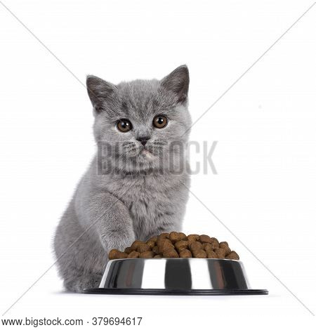 Cute Blue Tortie British Shorthair Cat Kitten, Sitting Behind Aluminium Bowl Filled With Brown Dry C