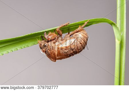 Cicada Shell On Green Plant Stem Isolated On Gray Background. Close-up.