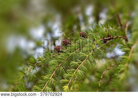 Juniper Tree Texture Background. Juniper Branch Pattern Backdrop Close Up. Evergreen Coniferous Juni