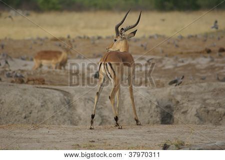 Impala in the Savuti Park
