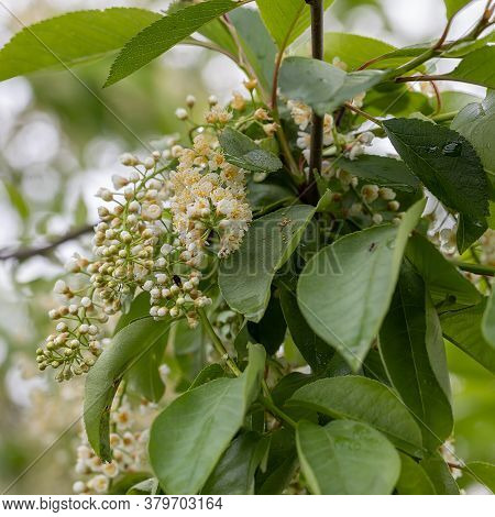 Close Up Of The Blooming White Flowers Of Prunus Padus, Known As Bird Cherry, Hackberry, Hagberry, O