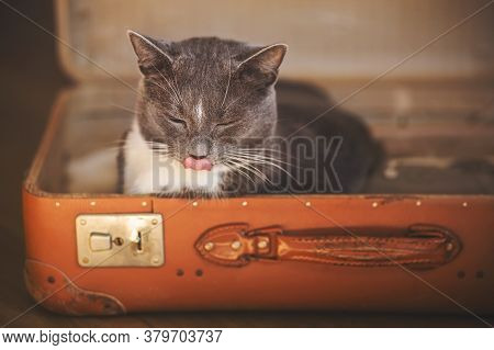 Cute Home Gray Cat Comfortably Lay Down In An Old Battered Orange Suitcase And Licks His Lips, Closi