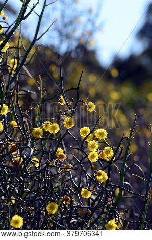 Back Lit Spiny Branches And Yellow Flowers Of The Unusual Australian Native Leafless Rock Wattle, Ac