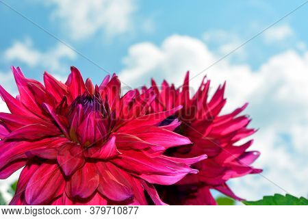 Dahlia Close-up Against A Blue Sky And White Clouds. Shrubs In The Garden On A Sunny Day. Decoration
