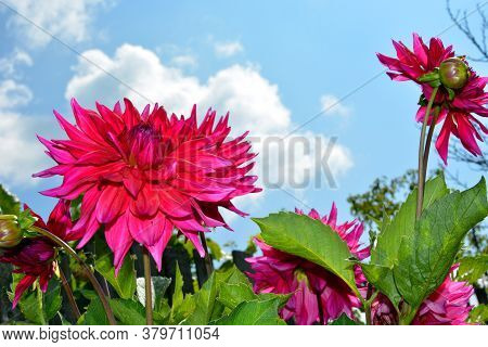 Dahlia Flowers Close-up Against A Blue Sky And White Clouds. Flowering Shrubs In The Garden On A Sun