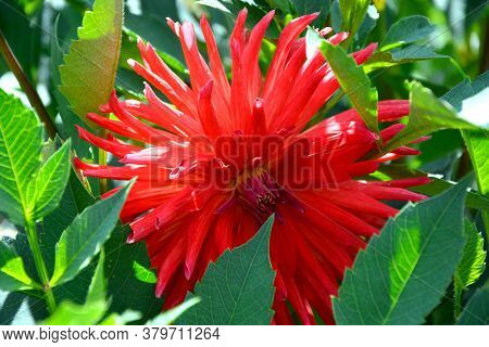 Dahlias Blooming. Shrubs In The Garden On A Sunny Day. Decoration Of Flower Beds In The Garden.
