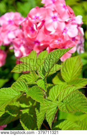 Green Raspberry Leaves On A Blurry Background Of Blooming Phlox. Shrubs In The Garden In Autumn. Ver