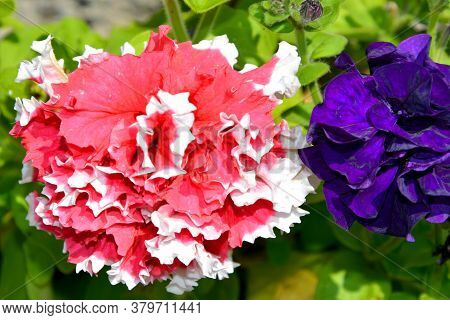 Indoor Flowers Of Unusual Colors. Flowering Shrubs In The House And Garden On A Sunny Day.