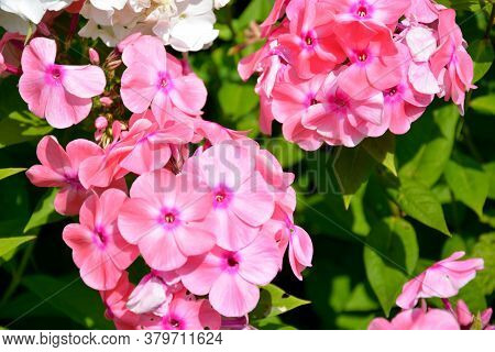 Phlox Flowers Close-up. Flowering Shrubs In The Garden On A Sunny Day.
