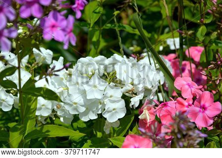 Phlox Flowers In Different Colors. Flowering Shrubs In The Garden On A Sunny Day.