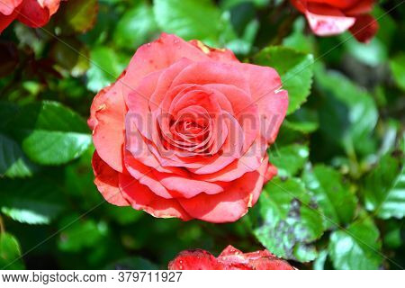 Red Rose Close-up On A Background Of Green Foliage. Flowering Shrubs In The Garden On A Sunny Day.