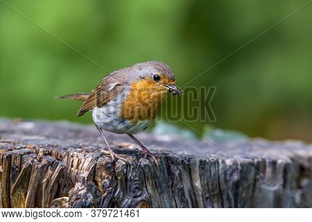 Robin Bird (erithacus Rubecula) Caught  Insects  On An Old Wooden Stump In The Forest