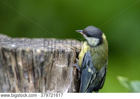 Great Tit Parus Major On An Old Wooden Stump In The Forest