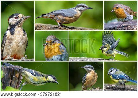 Bird Collage Set. Great Tit, Blue Tit,  European Nuthatch, Robin Bird, Woodpecker