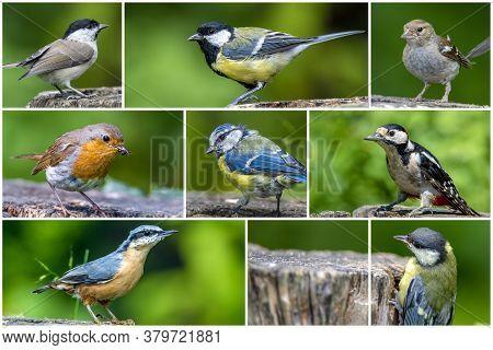 Bird Collage Set. Great Tit, Blue Tit, Coal Tit, European Nuthatch, Robin Bird, Woodpecker