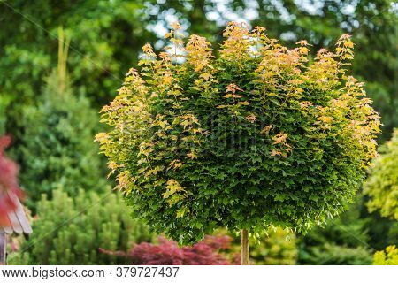 Close Up Of Single Small Green And Reddish Tree Surrounded By Lush Landscape In Garden.