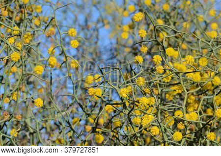 Spiny Branches And Yellow Flowers Of The Unusual Australian Native Leafless Rock Wattle, Acacia Aphy