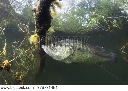 Underwater Picture Of A Frash Water Fish Largemouth Bass (micropterus Salmoides) Nature Light. Live