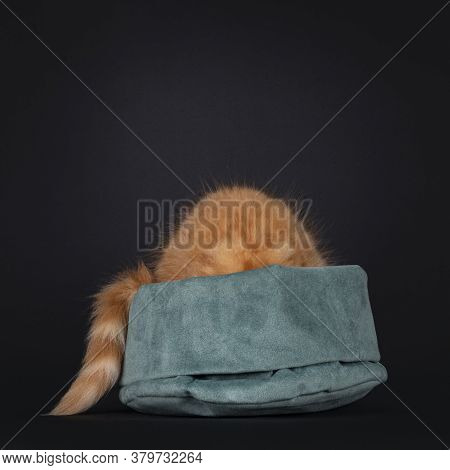 Cute Red Maine Coon Cat Kitten Hiding In Green Velvet Bag.  Isolated On Black Background.