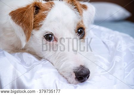 Muzzle Of A Jack Russell Terrier Dog Close Up, Eyes, Nose, Puppy Lying On The Bed On White Bed Linen
