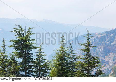 Lebanon Cedar Trees With Mountains On Background. The Cedars Of God Grove In Qadisha Valley On Mount
