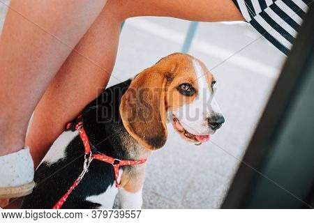 Young Beagle Puppy Sitting Next To Female Legs In Cafe Garden On Concrete Tiles.