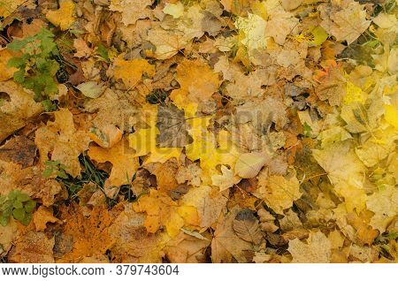 Autumn Background With Maple Leaves. Fall Leaves Background