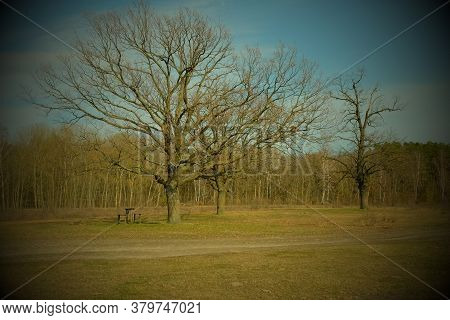 Two Beautiful Branched Trees At The Edge Of The Forest. Spring Landscape. Vignette.