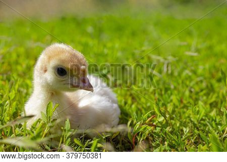 Little Turkey On Green Grass. Turkey-poult Close Up. Turkey Chick Walking In The Air. Eco Farm.