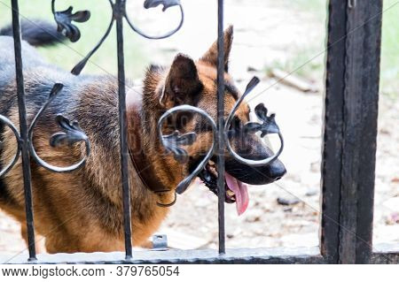 Shepherd Guard Dog Behind A Metal Fence