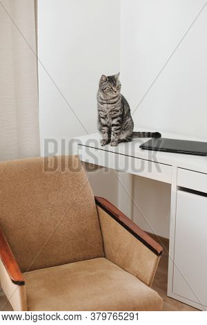 Home Office With Pet Cat. Cute Kitten Cat At Workplace At Home. Scottish Straight Cat Near Laptop. W